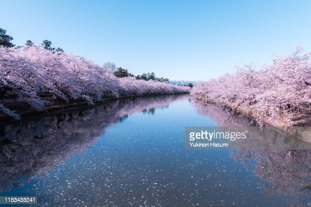 beautiful cherry blossoms in hirosaki park, aomori prefecture - hanami stock pictures, royalty-free photos & images