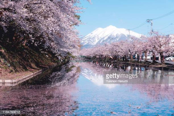 beautiful cherry blossoms in hirosaki park, aomori prefecture - hirosaki stock pictures, royalty-free photos & images