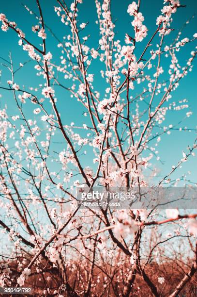 Beautiful Cherry Blossoms Tree In Spring