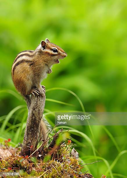 A beautiful chipmunk on a branch