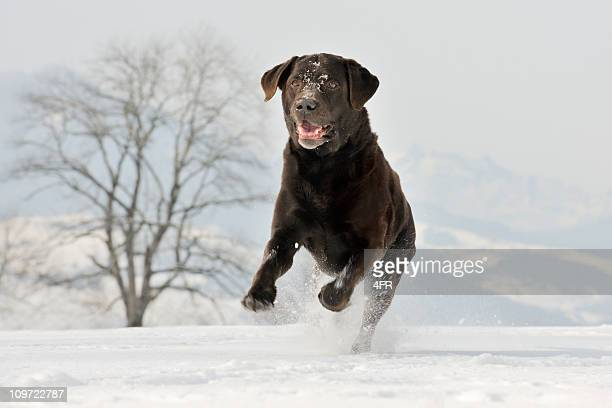 Beautiful Chocolate Brown Labrador Retriever playing in the Snow (XXXL)