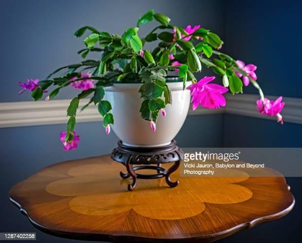 beautiful christmas cactus in full bloom against dark blue - シャコバサボテン ストックフォトと画像