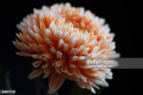 beautiful chrysanthemum flower
