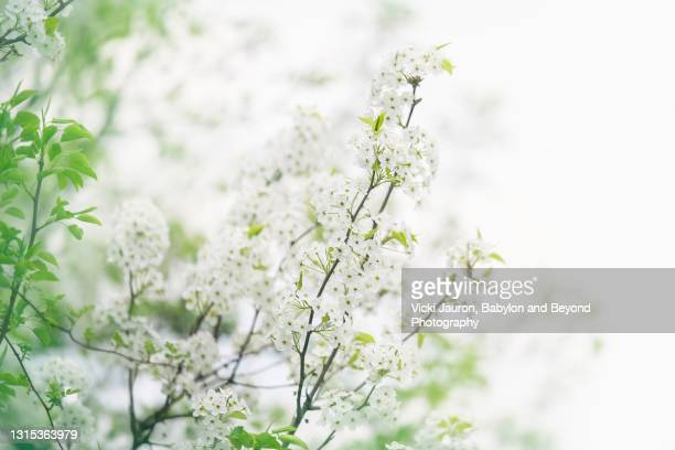 beautiful close up of white flowering bushes in early spring in pennsylvania - pureté photos et images de collection