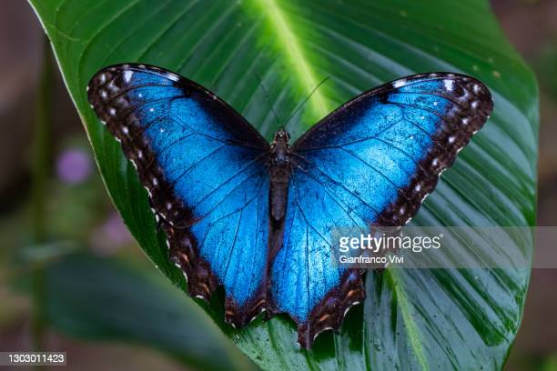 beautiful close up view of the electric blue morpho butterfly in costa rica - flying stock pictures, royalty-free photos & images