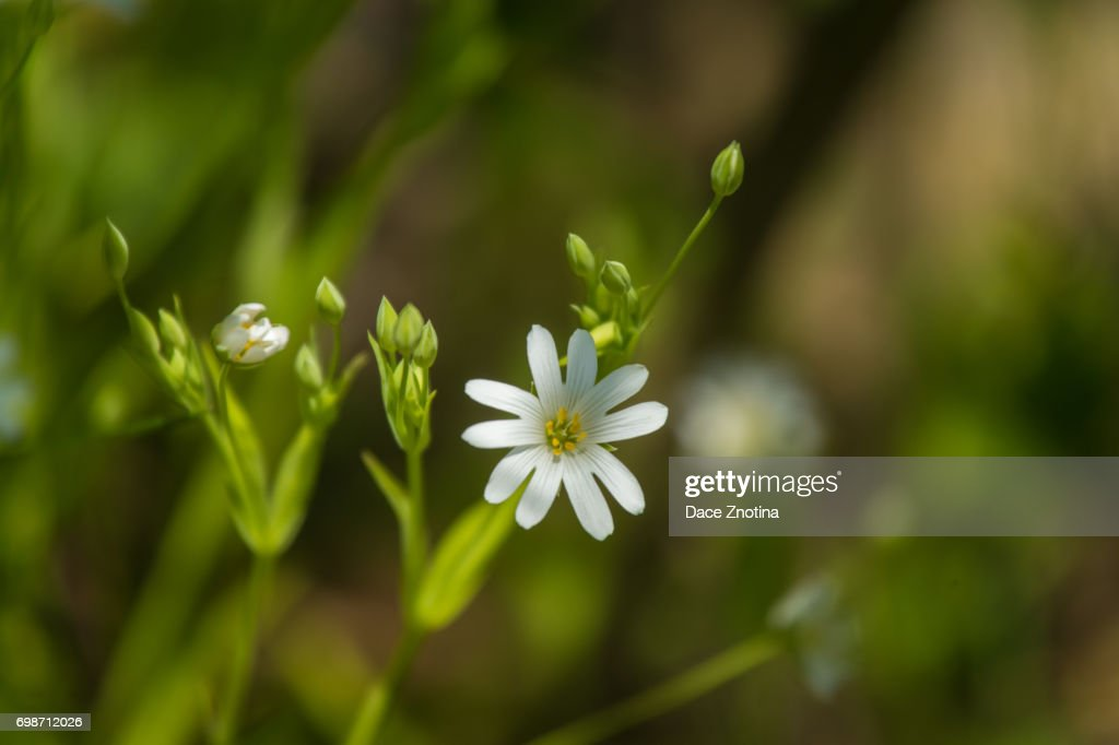A Beautiful Closeup Of Small White Flowers In A Grass Stock Photo
