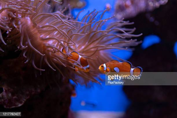 beautiful clown fish swimming in a aquarium with anemone plants - symbiotic relationship stock pictures, royalty-free photos & images