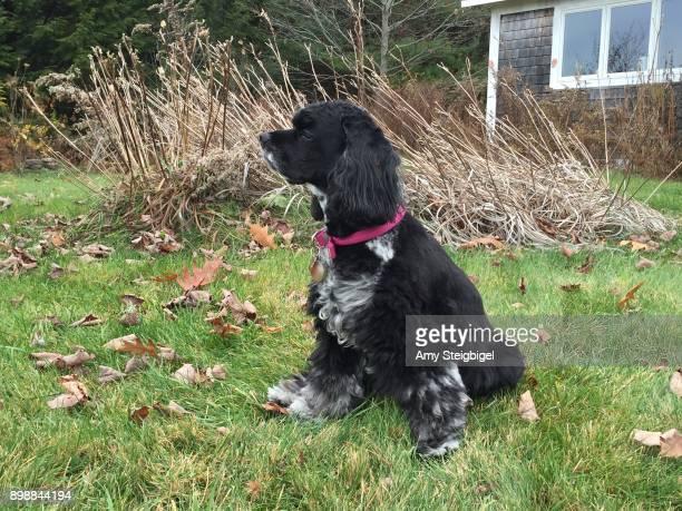 beautiful cocker spaniel dog outdoors - cocker spaniel - fotografias e filmes do acervo