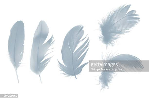 beautiful collection gray , baby blue feather isolated on white background - 羽飾り ストックフォトと画像