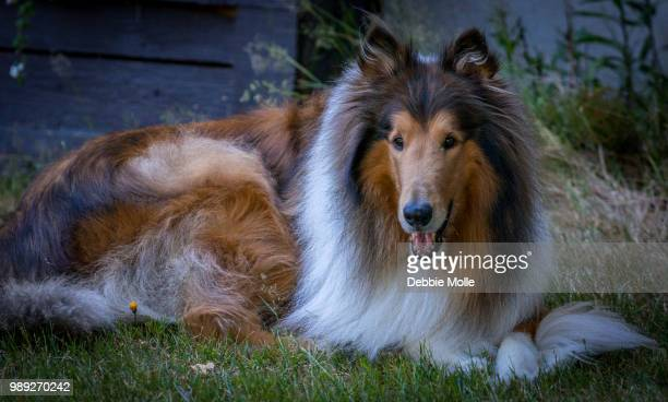 beautiful collie - collie stock photos and pictures