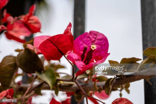 Beautiful colored Bougainvillea