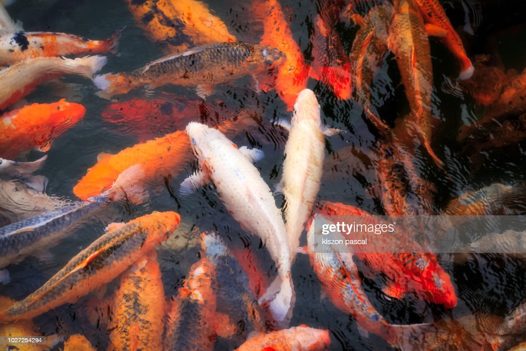 beautiful colored koi carps swimming in the pond : Stock Photo