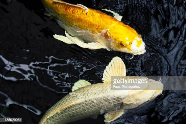 beautiful colored koi carps swimming in the pond - freshwater stock pictures, royalty-free photos & images