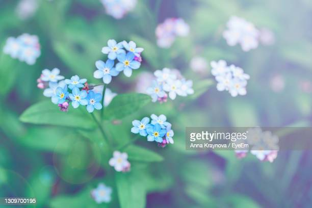 beautiful colorful fairy dreamy magic small blue forget-me-not flowers, blurry background - bright 2017 film ストックフォトと画像
