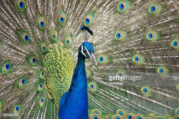 Beautiful colorful peacock with tail feathers all fawned out