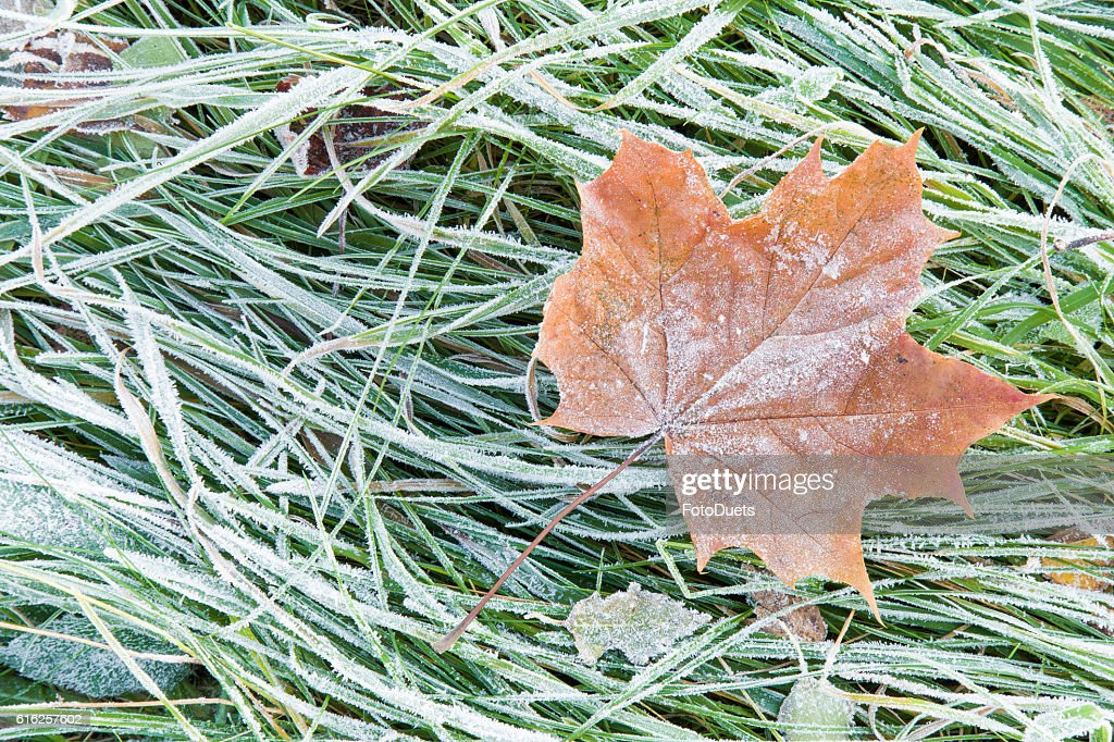 Beautiful, colorful, soft maple leaf has frozen in the meadow. : Foto de stock