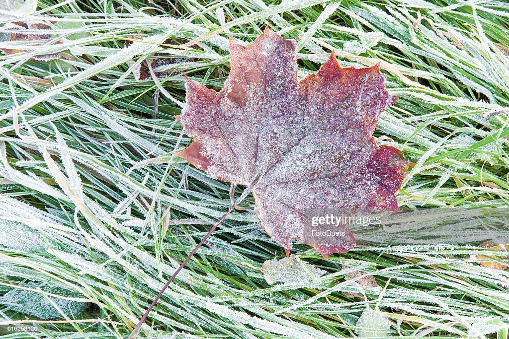 Beautiful, colorful, soft maple leaf has frozen in the meadow. : Stock Photo