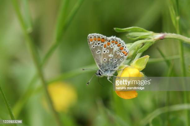 a beautiful common blue butterfly, polyommatus icarus, nectaring from a buttercup flower in springtime. - orange stock pictures, royalty-free photos & images