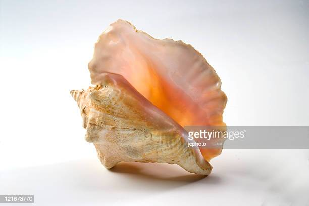 beautiful conch shell - conch shell stock pictures, royalty-free photos & images