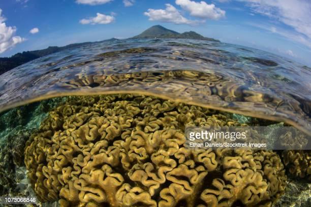 a beautiful coral reef grows near an island in the banda sea, indonesia. - brain coral foto e immagini stock