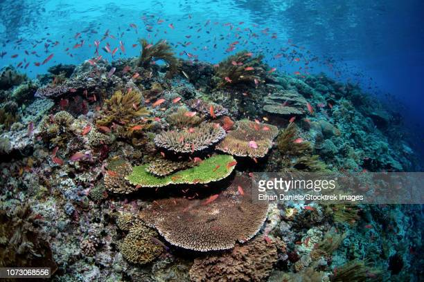 A beautiful coral reef thrives in Alor, Indonesia.