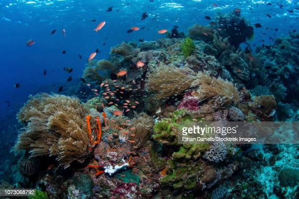 a beautiful coral reef thrives in alor, indonesia. - indo pacific ocean stock pictures, royalty-free photos & images