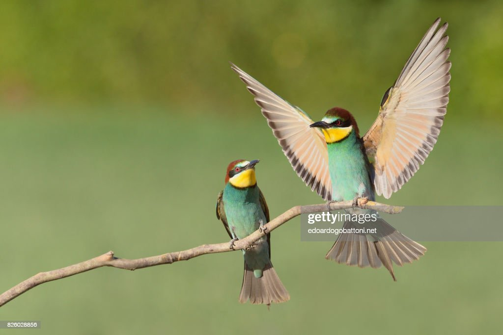 Beautiful couple bee-eaters : Foto stock