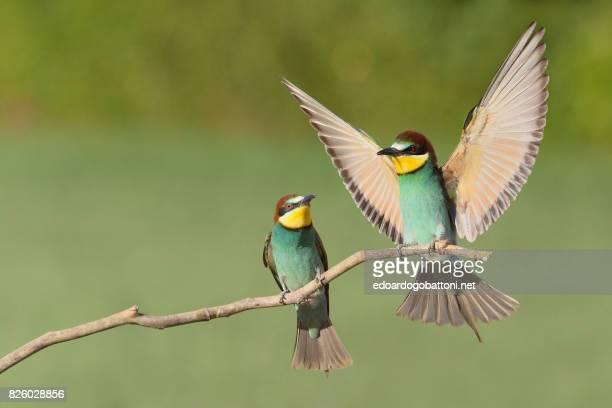 beautiful couple bee-eaters - edoardogobattoni stock pictures, royalty-free photos & images