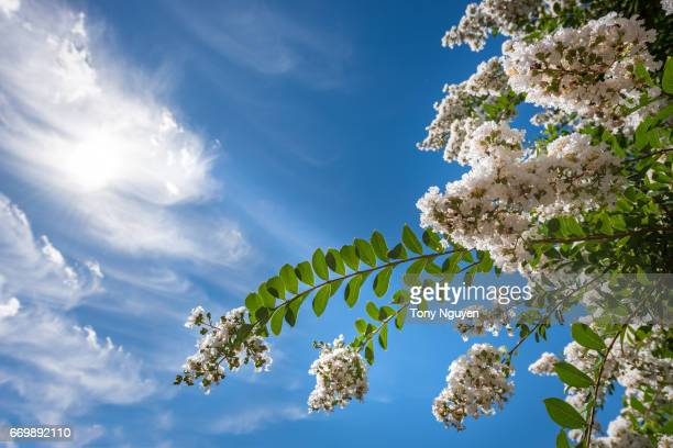 beautiful crepe myrtle blooms in morning light with blue sky in background. crepe myrtle or lagerstroemia indica or saru-suberi. - crepe myrtle tree stock pictures, royalty-free photos & images