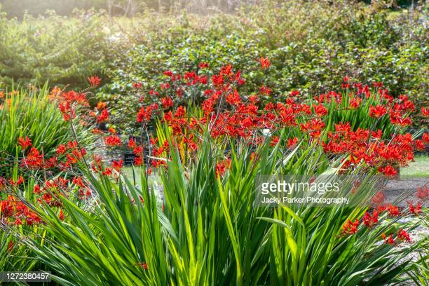beautiful crocosmia 'lucifer' montbretia 'lucifer' red summer flowers in soft sunshine - red stock pictures, royalty-free photos & images