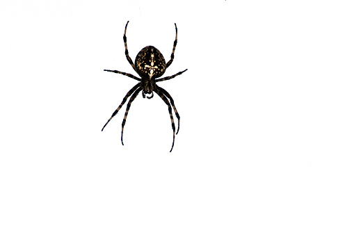 Beautiful cross spider isolated on white background 1041846758