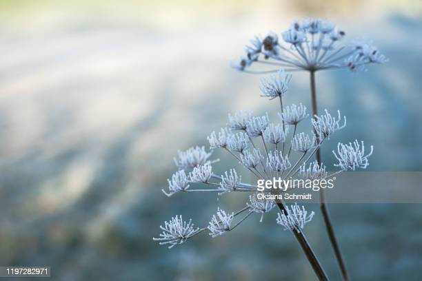 beautiful crystal hoarfrost on dried masterwort plant. - kälte stock-fotos und bilder