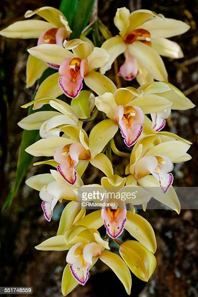 beautiful cymbidium orchid - crmacedonio foto e immagini stock