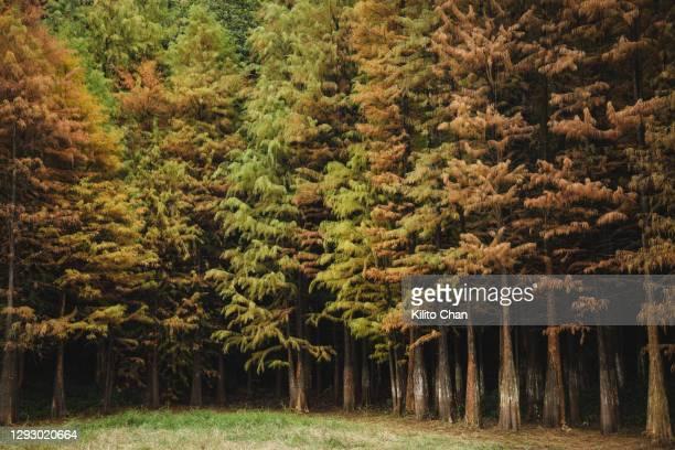 beautiful cypress tree forest - 落羽松 ストックフォトと画像