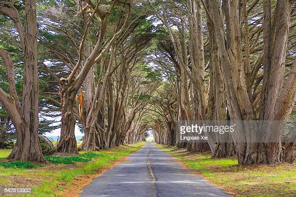 Beautiful Cypress Tree Tunnel in California