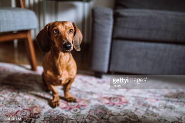 beautiful dachshund dog in sunny living room - dachshund stock pictures, royalty-free photos & images