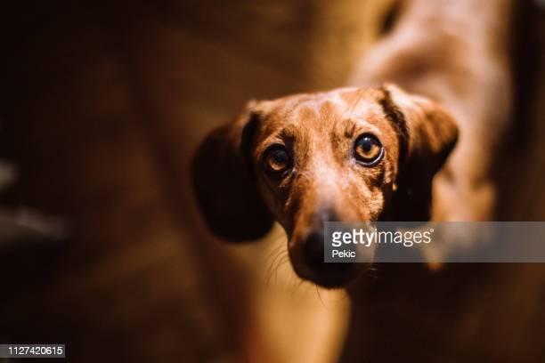 wunderschöne dackel hund im sonnigen wohnzimmer - innocence stock-fotos und bilder