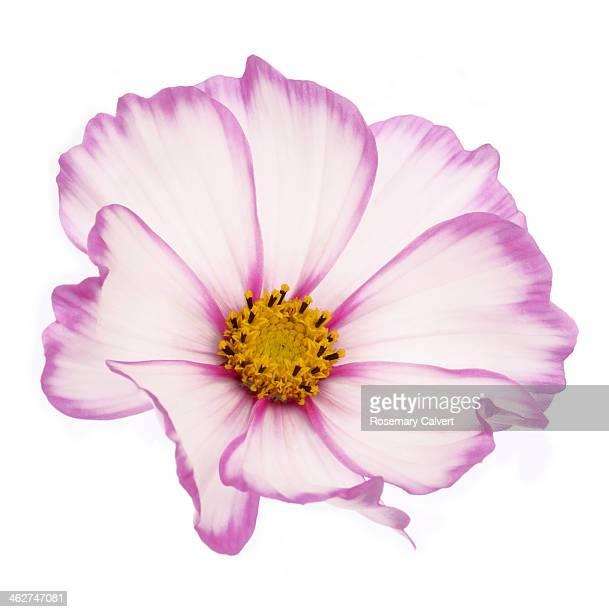 Beautiful dainty pink cosmos flower