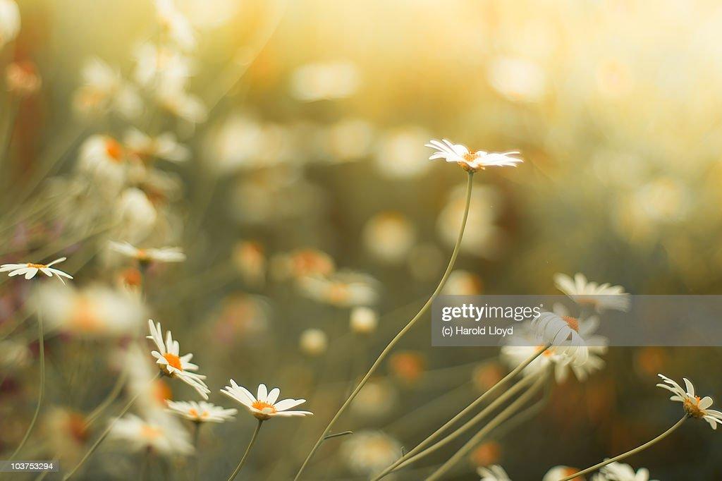 Beautiful daisies : Bildbanksbilder
