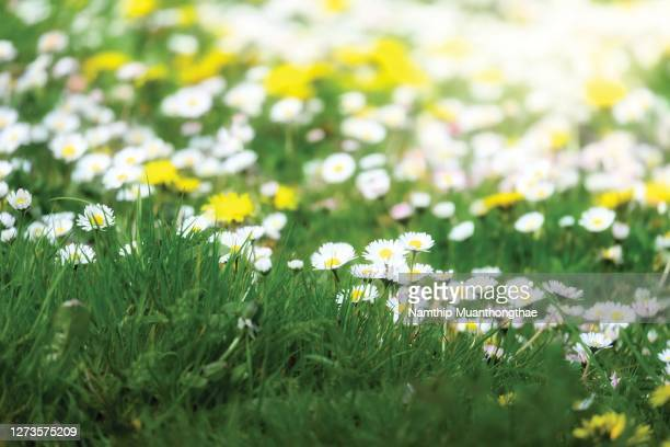 beautiful daisy on the green lawn under the warm light of sunny day in the summertime of europe for creating the natural background - lawn stock pictures, royalty-free photos & images