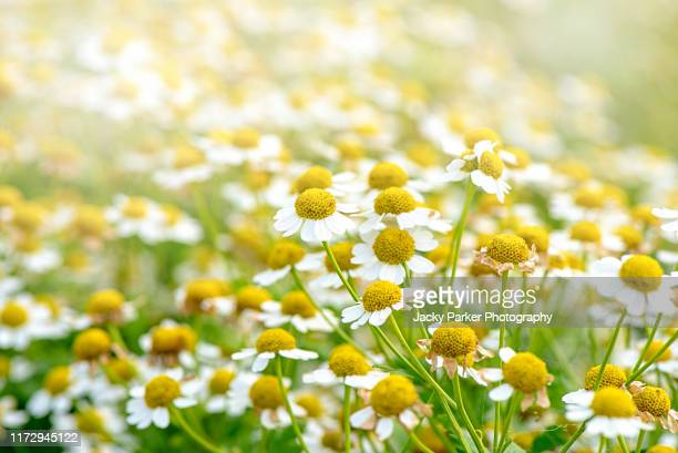 beautiful daisy-like white flowers of the summer flowering chamomile or camomile in soft sunshine - chamomile tea stock pictures, royalty-free photos & images