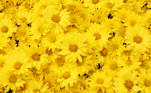 Beautiful dandelion background, yellow flowers is blooming in the garden. 918413974
