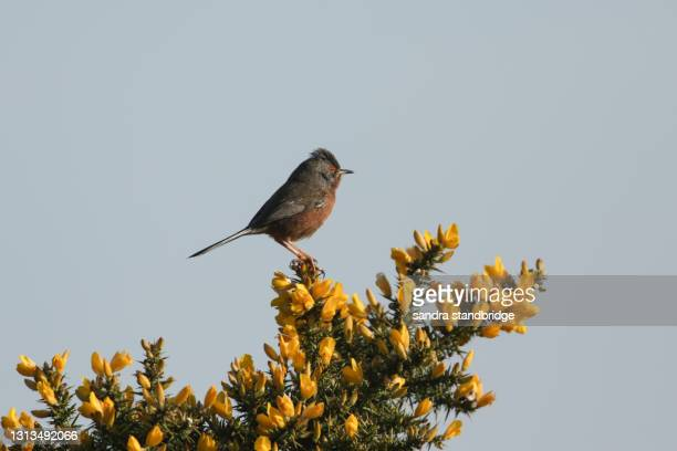 a beautiful dartford warbler (sylvia undata) perching on a gorse bush. - warbler stock pictures, royalty-free photos & images