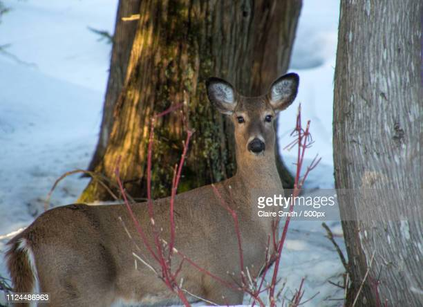 beautiful deer by cedar trees in winter with dogwood - white tail buck stock photos and pictures