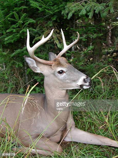 beautiful deer - white tail buck stock photos and pictures