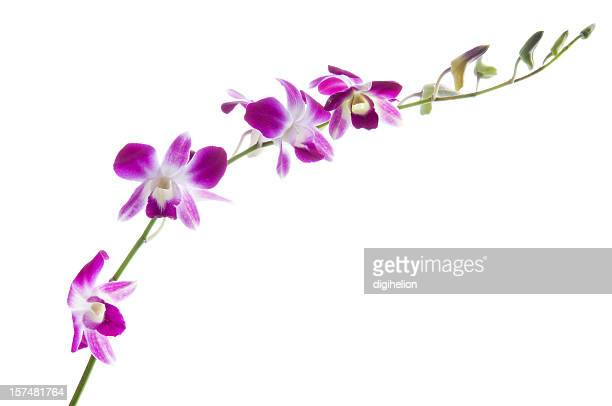 Beautiful dendrobium orchids on white