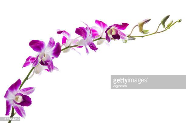 Beautiful dendrobium orchids on white.