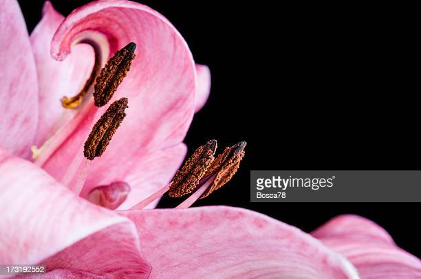 Beautiful, detailed close up of pink coloured lily.
