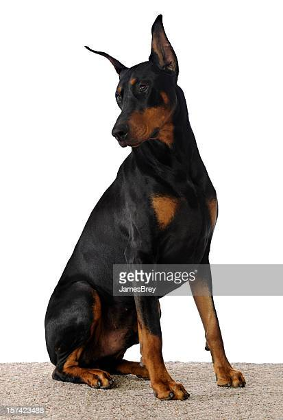 Beautiful Doberman Pinscher Dog Sitting on White Background