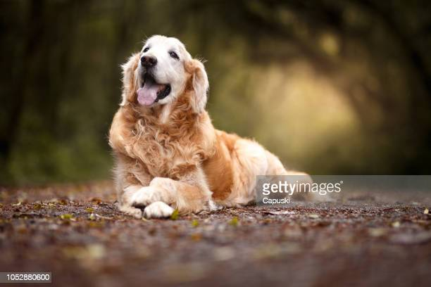 beautiful dog lying in the forest - golden retriever stock pictures, royalty-free photos & images